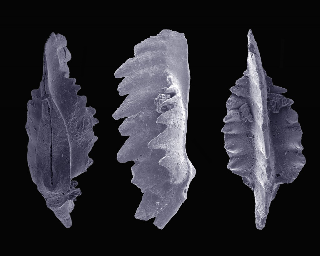 Scythogondolella milleri, an Early Triassic (ca. 250Ma) conodont element seen in oral, parietal and aboral view. The species is a key stratigraphic marker within the Triassic. Images by Marc Leu, GMX Bern, Switzerland.